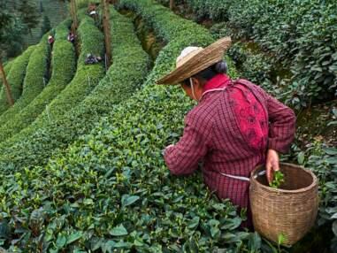 En Chine, un grand voyage aux sources du thé