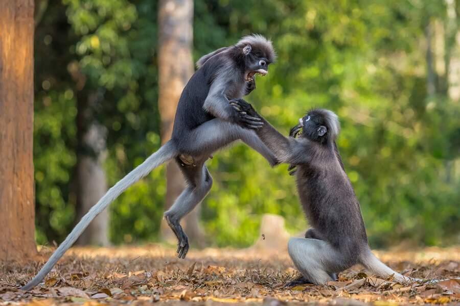 Langurs en colère, parc national de Kaeng Krachan, Thaïlande