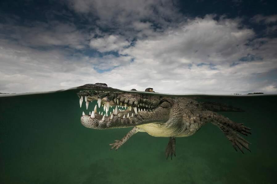 Crocodile américain dans l'archipel des Jardines de la Reina (Cuba)