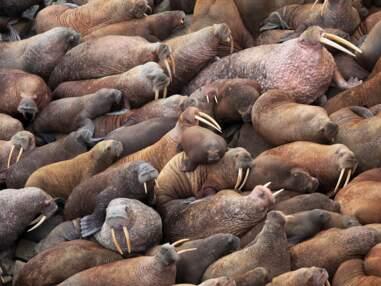 Sibérie : quand les morses débarquent par milliers