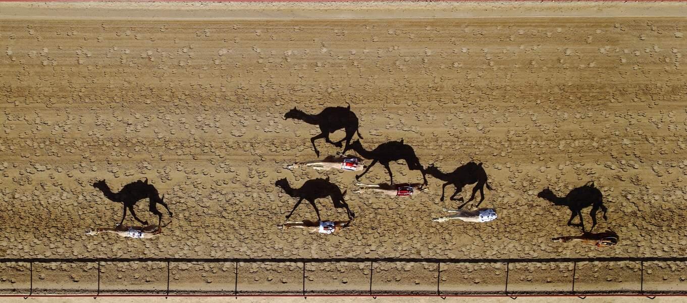 Pendant la course de chameaux qui se déroule chaque année à Dubai (Emirats arabes unis), à l'hippodrome Al Marmoum