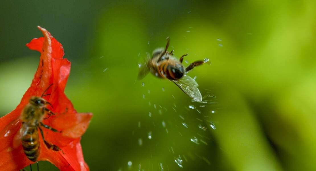 Paf ! Abeille déstabilisée par une goutte de pluie en Amazonie