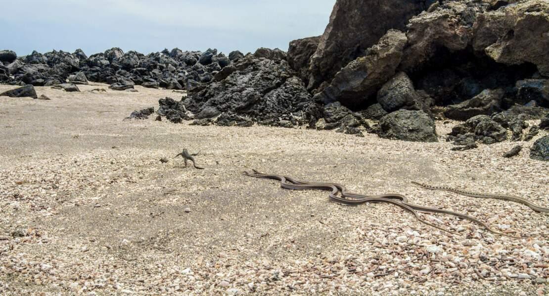 Jeune iguane marin poursuivi par desserpents des Galápagos
