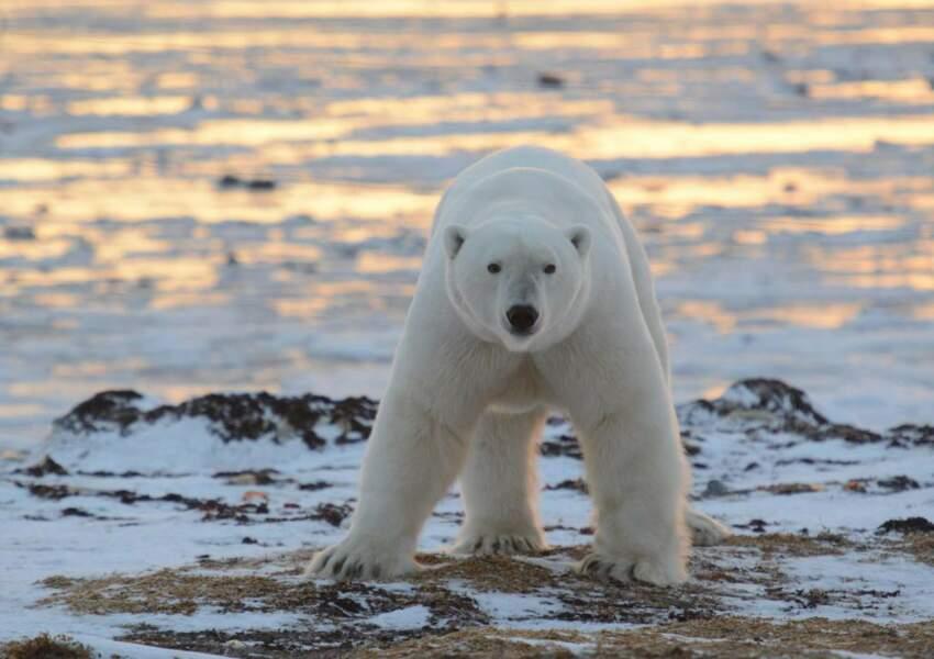 Ours polaire, au Canada par José Leval / Communauté GEO