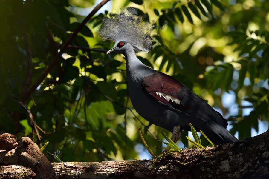 Goura couronné (Goura cristata), île d'Aiduma, baie de Triton, Papouasie occidentale, Indonésie