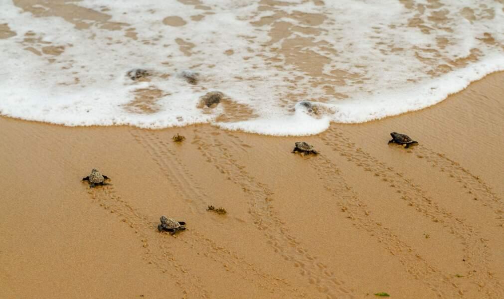 Des petites tortues sur la plage de Maio