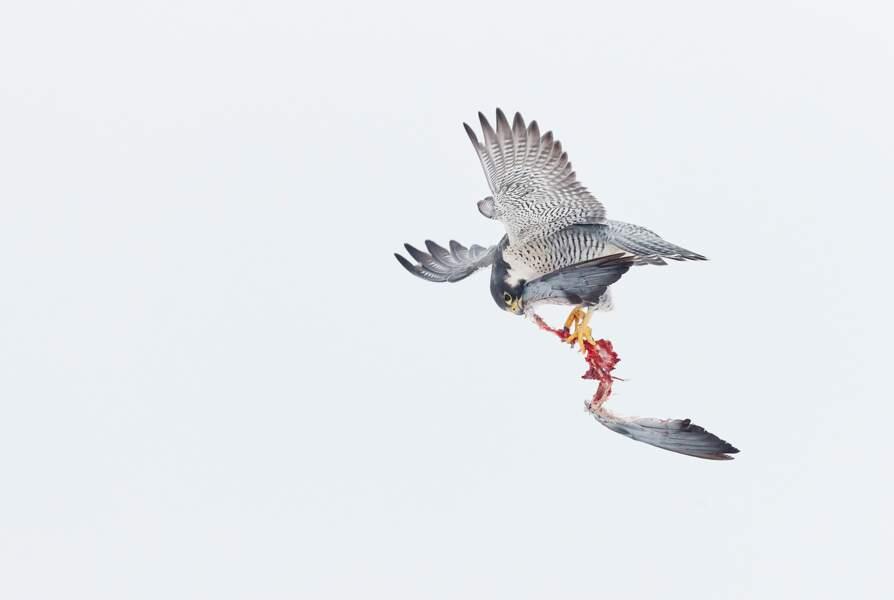 Faucon pèlerin 1 – pigeon 0, Ontario, Canada
