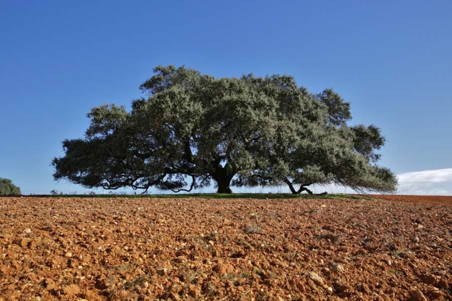 3/ Portugal : le chêne séculaire de Monte Barbeiro