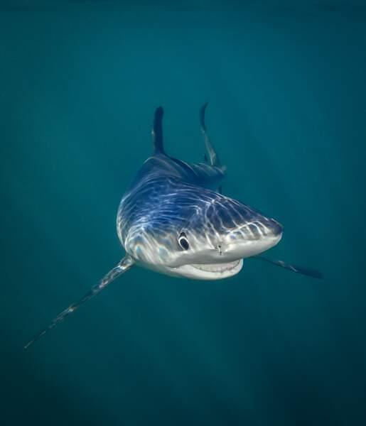 Requin bleu, Rhode Island, Etats-Unis