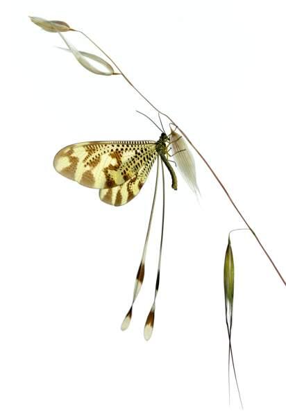 Minute, papillon ! Nemoptera bipennis, Ávila, Espagne