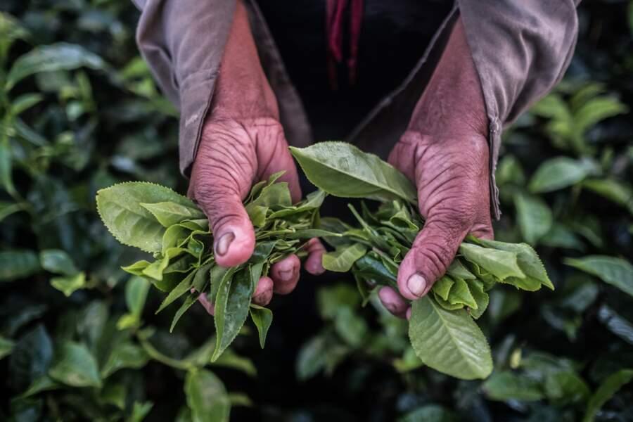 Feuilles de thé sur la plantation de Bois Chéri