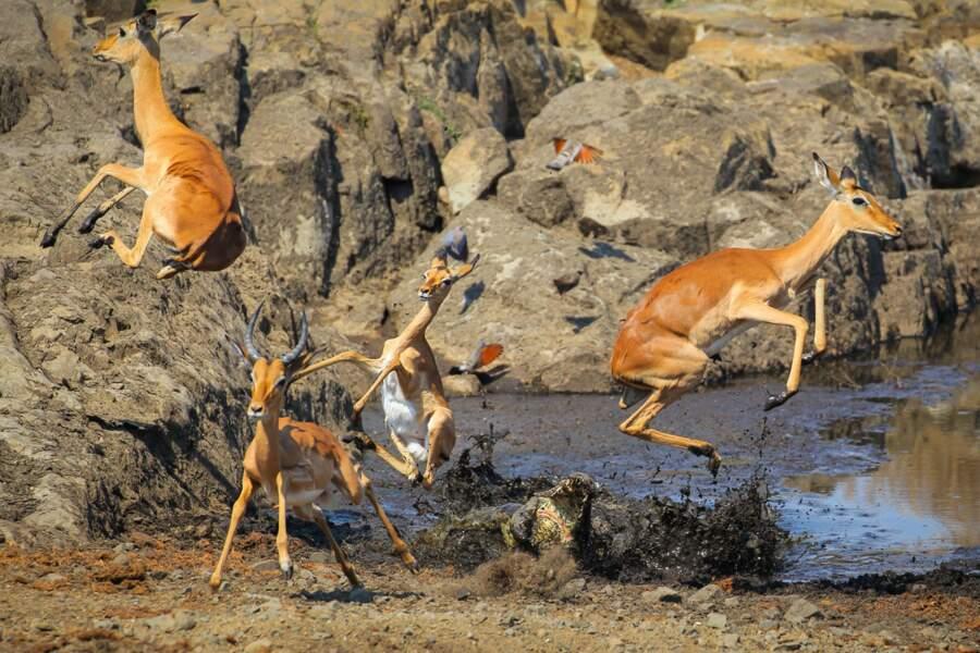 """Croco surprise / John Mullineux (Afrique du Sud), finaliste """"comportement : mammifères"""""""