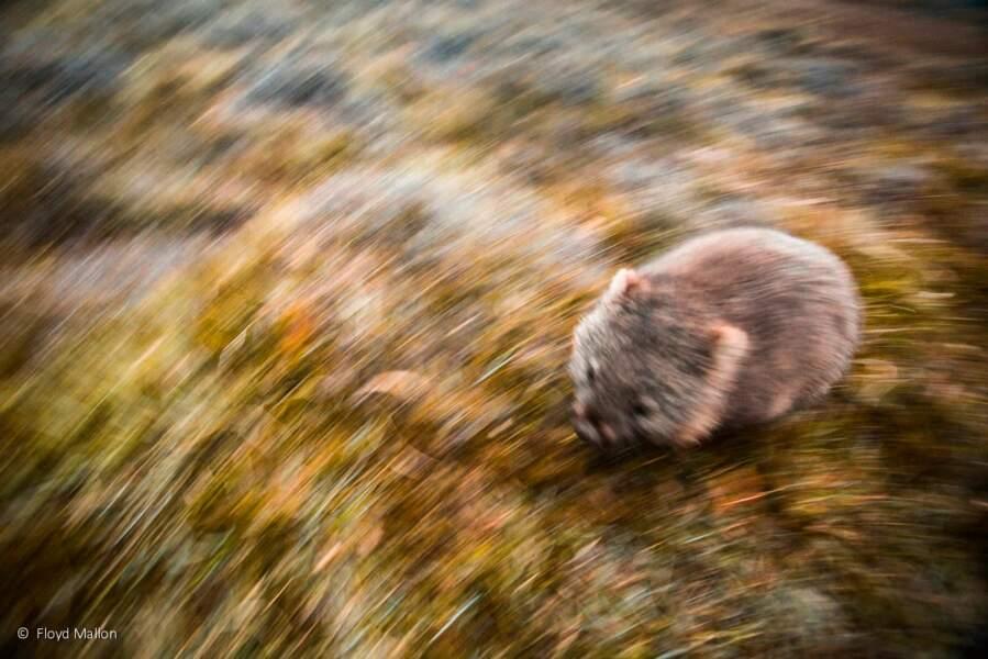Wombat en fuite