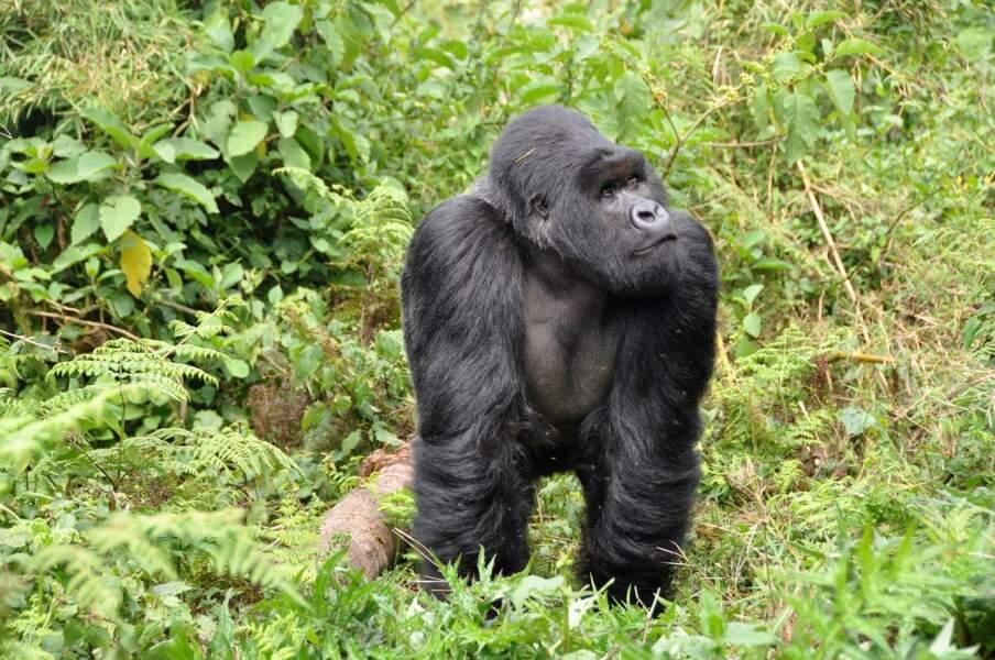 Observer les gorilles des montagnes