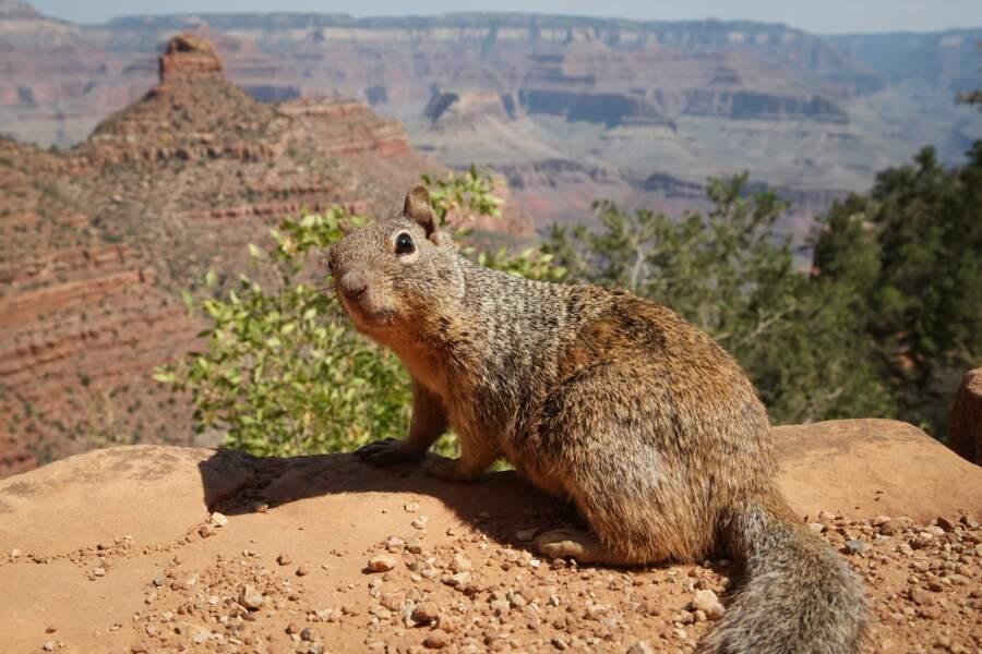 5 - L'animal le plus dangereux du Grand Canyon est un... écureuil