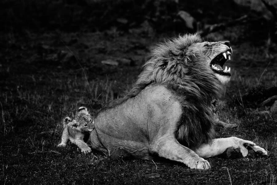 Lion se faisant mordre par son lionceau, réserve nationale du Masai Mara, Kenya