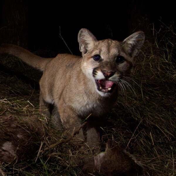 Un puma en chasse surpris pas un flash