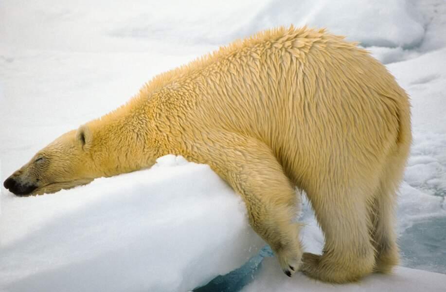 Ours polaire fatigué, Svalbard, Norvège