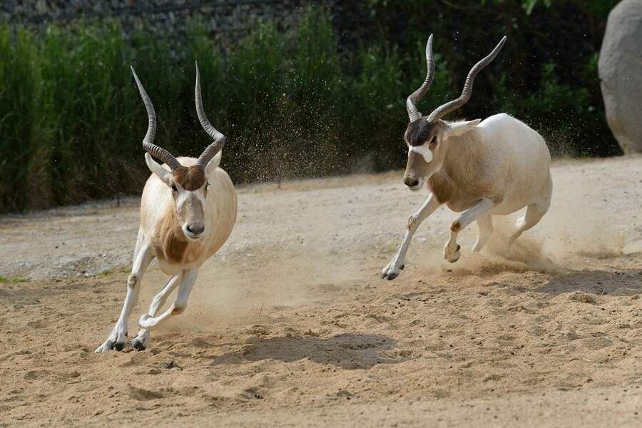 Addax ou antilope à nez tacheté