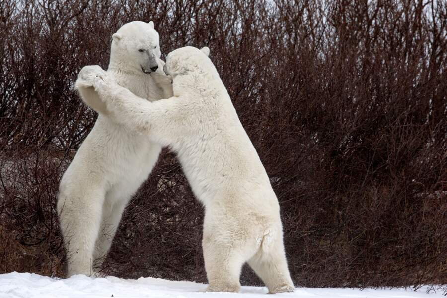 Valse d'ours, Churchill, Canada