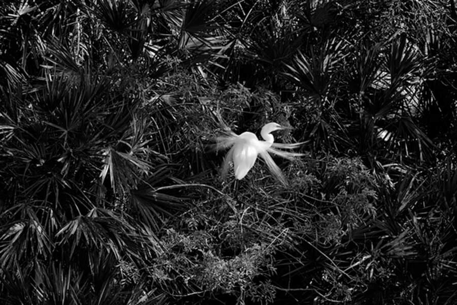 La Grande Aigrette, une espèce protégée