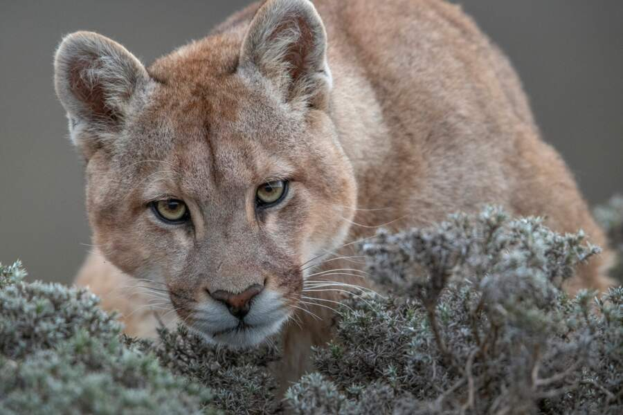 "Puma sauvage de Patagonie – Catégorie ""nature"""
