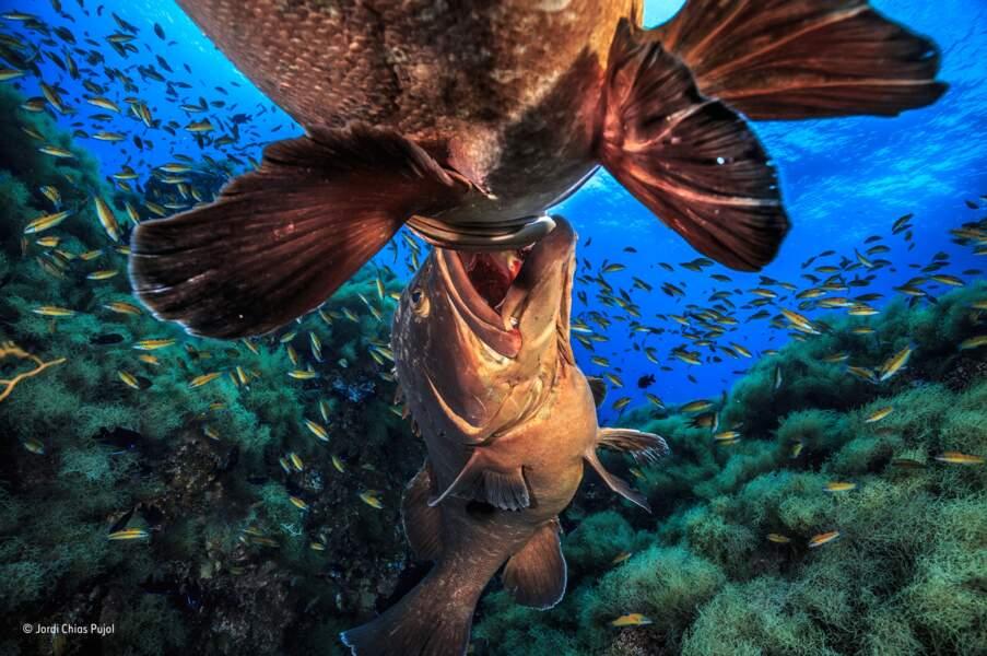 Un domaine sous-marin âprement disputé / Jordi Chias Pujol, catégorie reptiles, amphibiens et poissons
