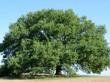 10 arbres remarquables qui peuplent nos contrées