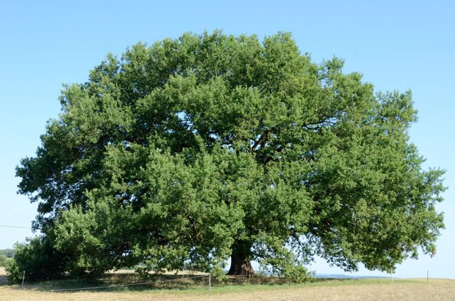 Le chêne de Tombebœuf, le sage feuillu de Lot-et-Garonne