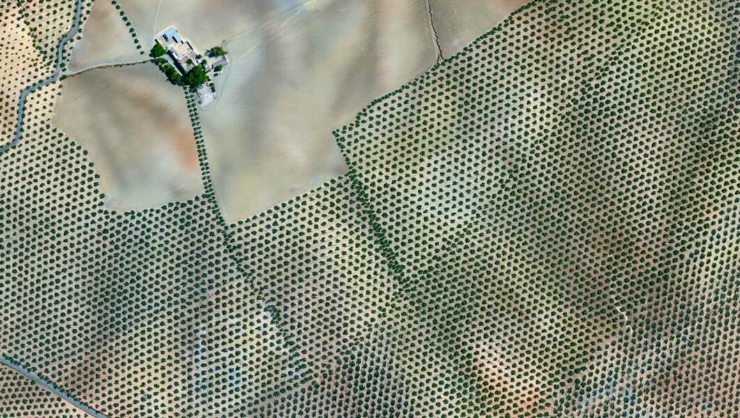 Des hectares d'oliviers en Espagne