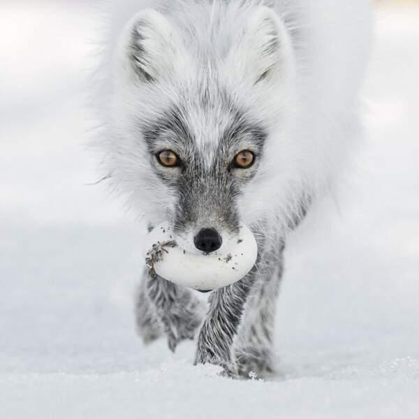 "Trésor arctique / Sergey Gorshkov (Russie), finaliste ""portraits animaliers"""