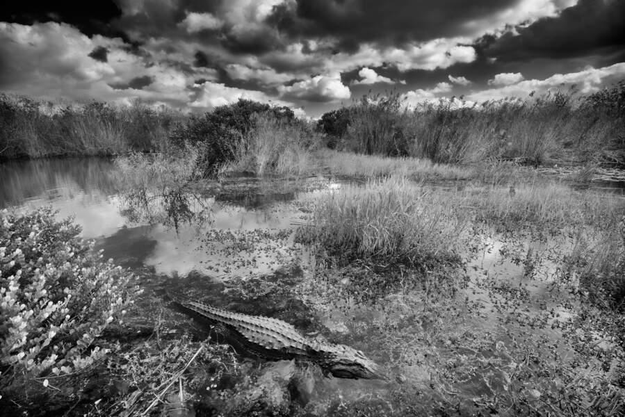 L'alligator d'Amérique