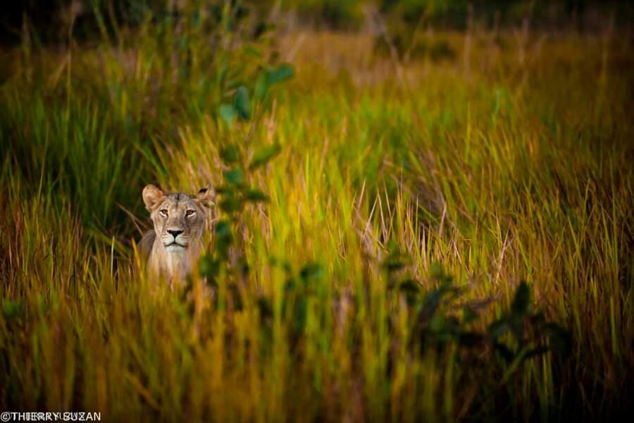 Lionne à l'affût dans l'Okavango