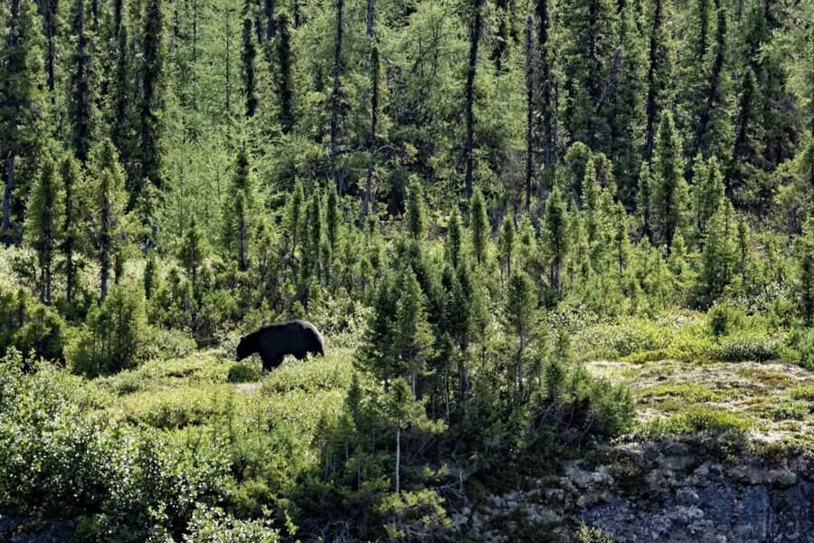 À proximité des rivières, l'ours noir vient concurrencer les pêcheurs