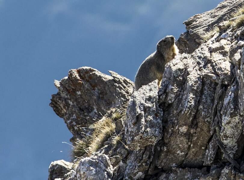 Les marmottes alpines pour seules voisines
