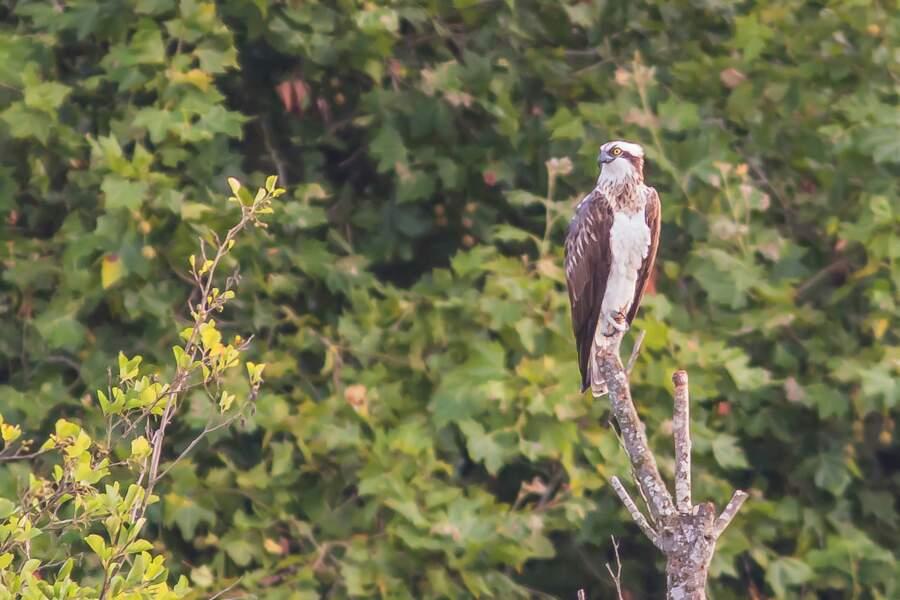 Le balbuzard pêcheur, un aigle majestueux dans les marais de l'Essonne