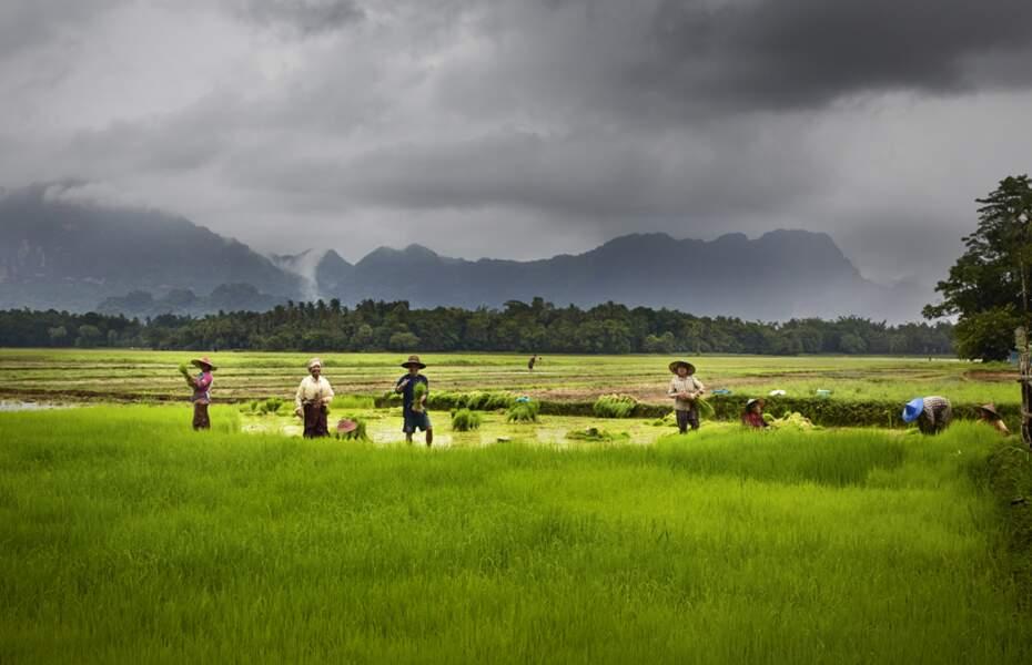 Rizières gorgées d'eau dans l'Etat karen