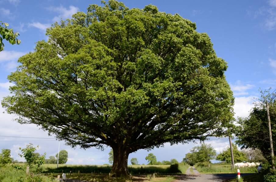 Le chêne rond de La Buxerette, un houppier dodu et feuillu