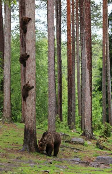 Colonne d'ours bruns, centre de Martinselkonen, Finlande
