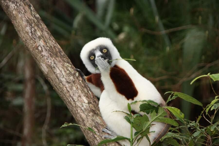 Lémurien (propithèque de Coquerel), Madagascar