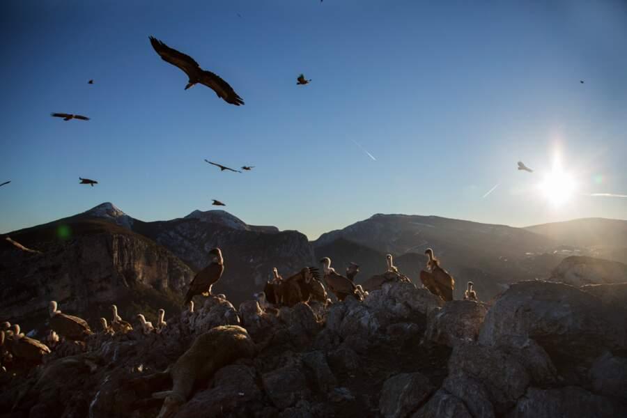 120 vautours fauves sont fixés autour du village de Rougon