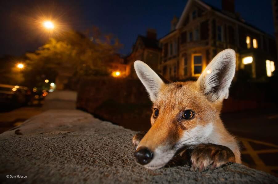 Curieux comme un renard de ville / Sam Hobson, catégorie milieu urbain