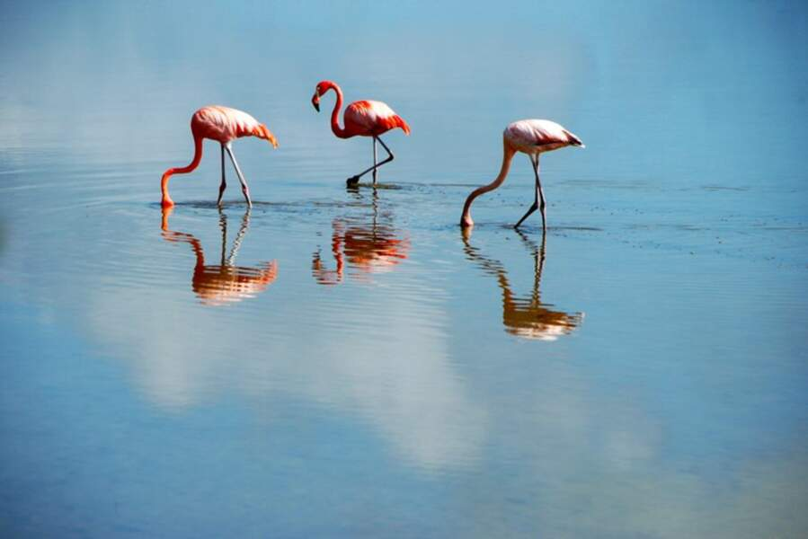 Flamands roses, à Cuba, par ichauvel