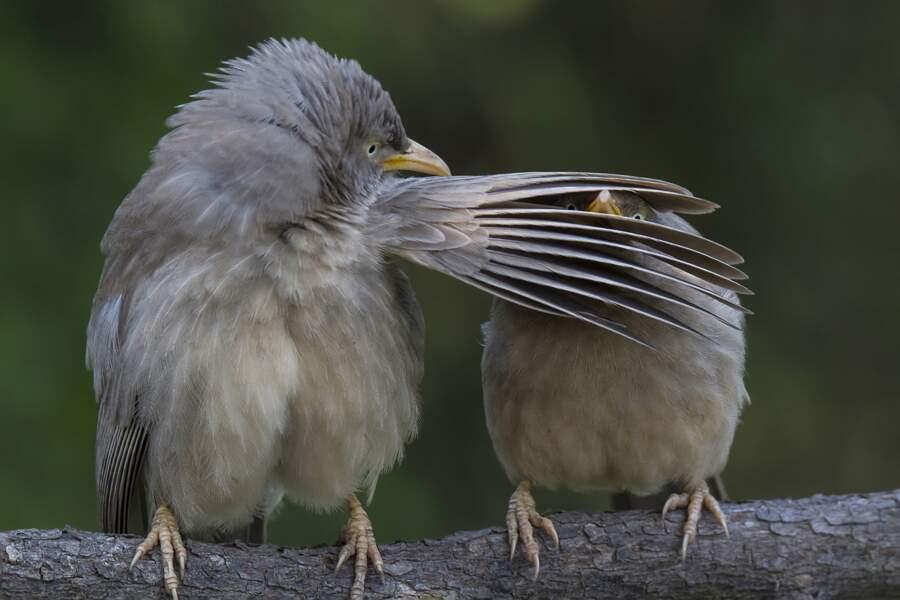 """""""Arrête de piailler !"""", lance le cratérope de brousse en colère à son voisin trop bavard (Bharatpur, en Inde)"""