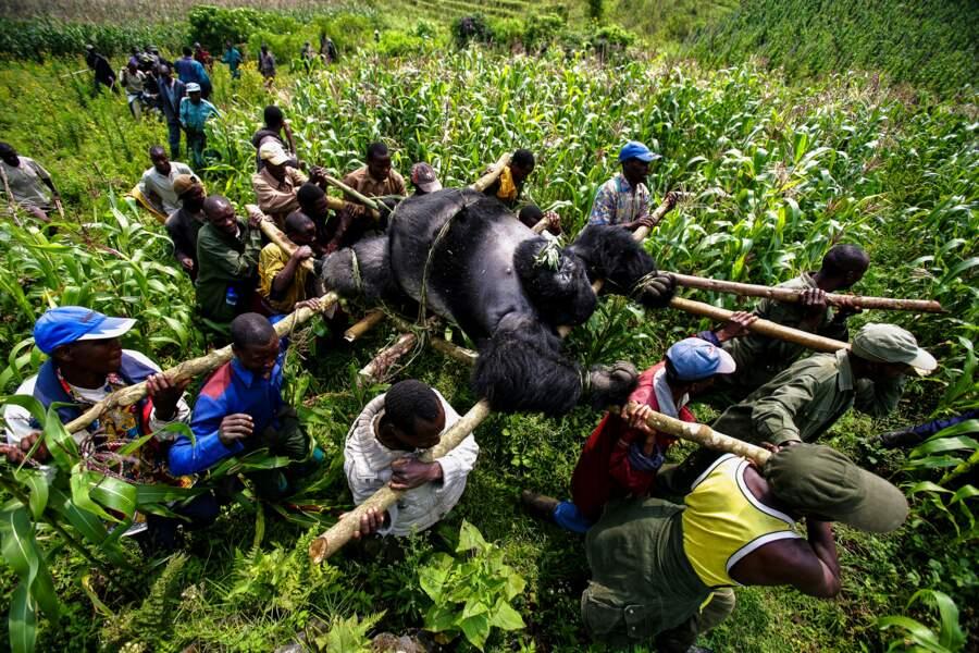 RDC, gorilles en danger