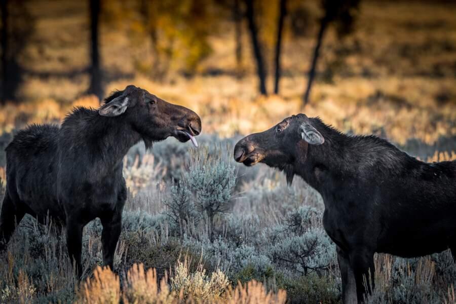 Prise de bec entre femelles élans, Wyoming, Etats-Unis