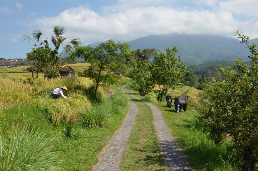 Indonésie - Les rizières en terrasse de Jatiluwih