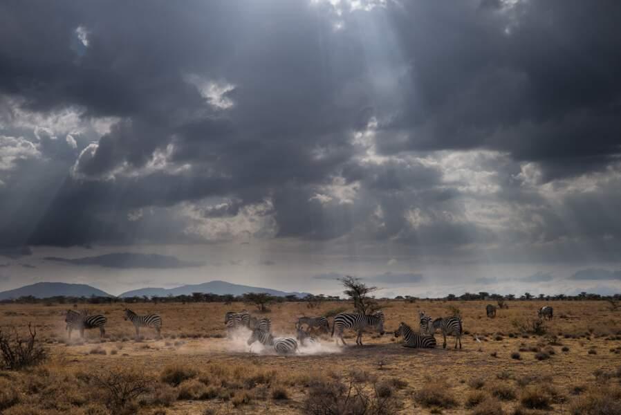 Les zèbres de la conservancy