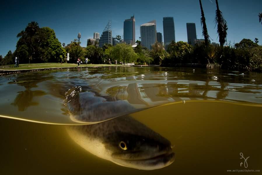 Anguille dans les jardins botaniques de Sydney (Australie)
