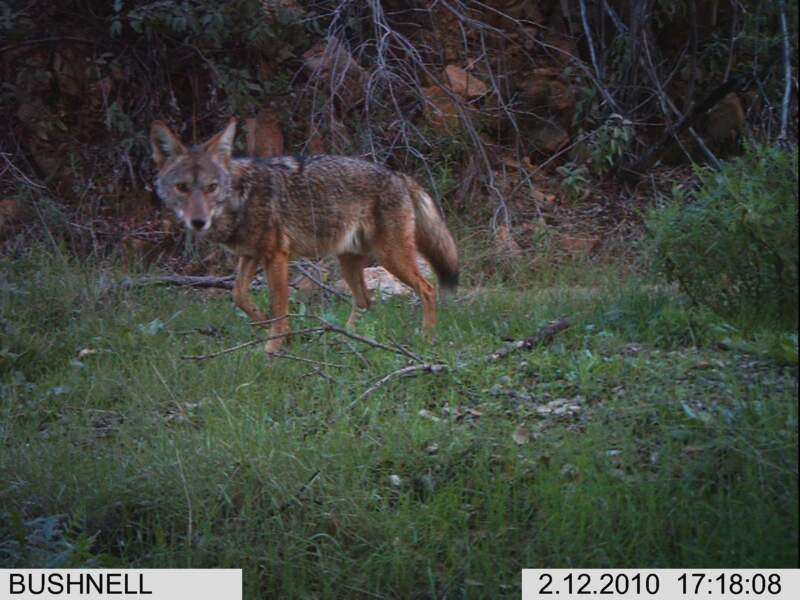 Un coyote pris en photo dans le Cheeseboro Canyon